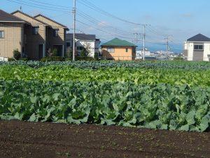 日野 住宅 野菜 日野菜