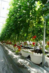 栽培 樽トマト 日野