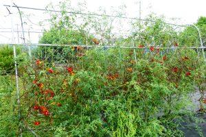 ソバージュ栽培 日野 トマト